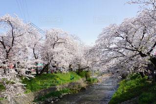 桜の写真・画像素材[929619]