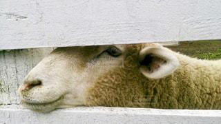 羊の写真・画像素材[931398]