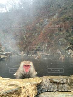 猿の温泉の写真・画像素材[931104]