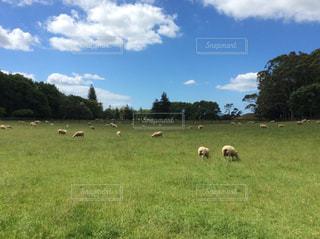 放牧の羊の群れ - No.932086
