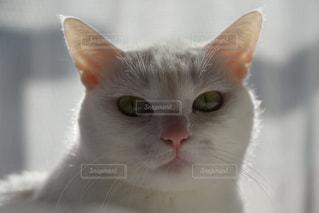 カメラを見ている猫の写真・画像素材[940429]