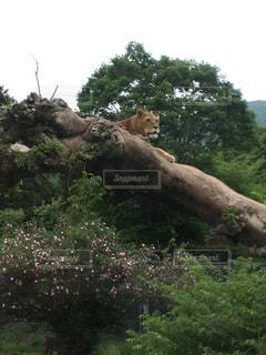 ライオンの写真・画像素材[931407]