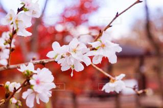 12月の桜の写真・画像素材[932294]