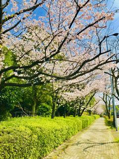 桜並木 - No.1092184