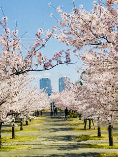 都会の桜の写真・画像素材[1097108]
