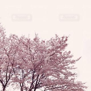 桜の木の写真・画像素材[934607]