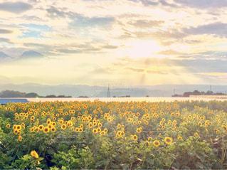 ヒマワリ畑と太陽の写真・画像素材[944216]