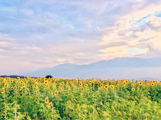 ヒマワリ畑と空と山 - No.944221