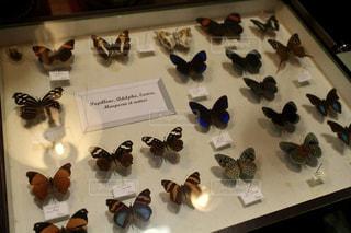 古い蝶の標本の写真・画像素材[954524]