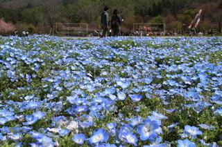 ネモフィラの花畑の写真・画像素材[4324879]