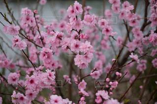川岸に咲く八重桜。の写真・画像素材[1127401]