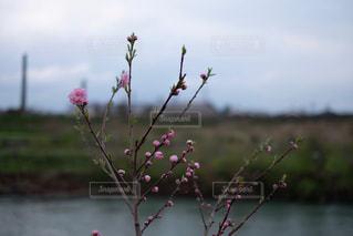 川岸に咲く可憐な花。八重桜かな。の写真・画像素材[1127402]
