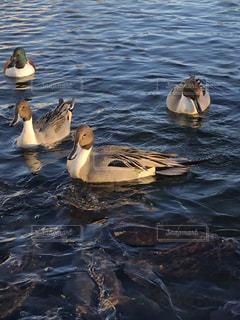 アヒルの水体水泳の写真・画像素材[943669]