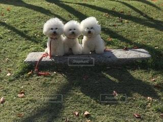 草の上に座っている小さな白い犬の写真・画像素材[932623]