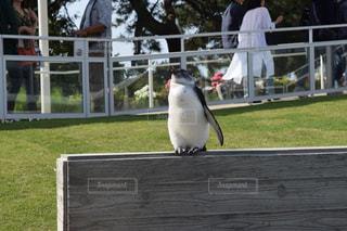 ペンギンの写真・画像素材[495774]