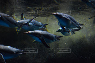 ペンギンの写真・画像素材[495802]