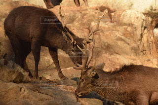 鹿の写真・画像素材[495811]
