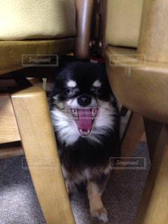 あくびする犬の写真・画像素材[932809]