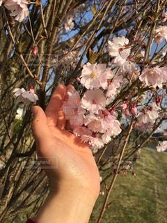 春に触れての写真・画像素材[1096848]
