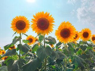 晴れの日のひまわり畑の写真・画像素材[933483]