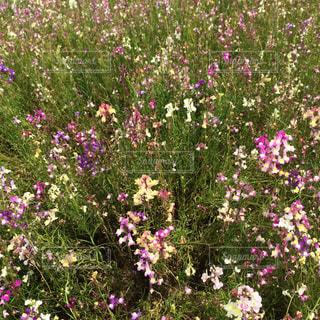 綺麗な花畑のアップの写真・画像素材[933931]