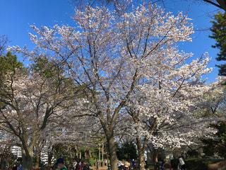 桜の全景の青い空の写真・画像素材[2173857]