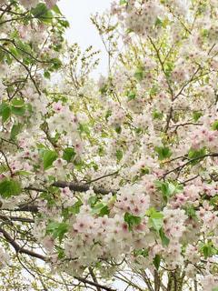 葉桜の写真・画像素材[934511]