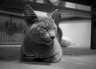 Russianblue 2の写真・画像素材[935615]