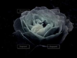 Rose 1の写真・画像素材[2772572]