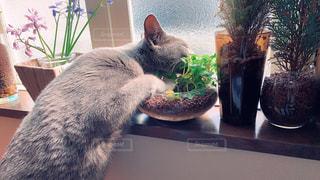 灰色の猫の写真・画像素材[3199504]
