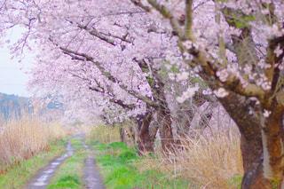 桜並木の写真・画像素材[934201]