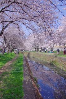 桜の写真・画像素材[1134370]