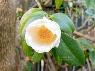 白い椿の写真・画像素材[4022623]