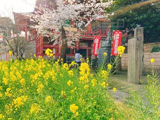 桜と菜の花の咲く風景の写真・画像素材[4288439]