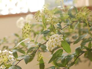 コデマリの花の写真・画像素材[1028640]