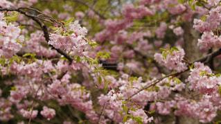 桜5の写真・画像素材[1076565]