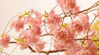 桜4の写真・画像素材[1076567]