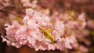 桜3の写真・画像素材[1076568]