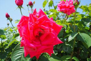 薔薇の写真・画像素材[1174088]