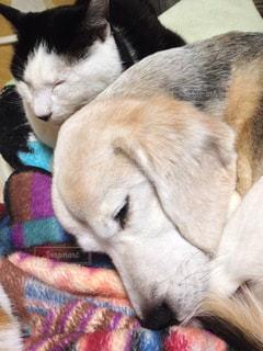 犬のベッドに横になっている猫の写真・画像素材[938219]