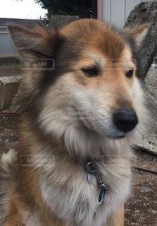 愛犬の写真・画像素材[65630]