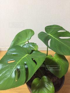 観葉植物の写真・画像素材[1552480]