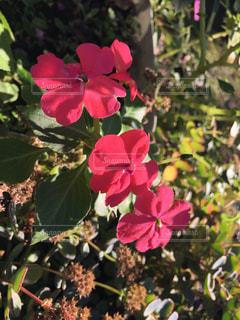 庭の花の写真・画像素材[1619491]