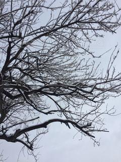 木に雪が積もっている。の写真・画像素材[1668241]
