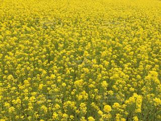 菜の花畑。一面に広がる黄色。の写真・画像素材[2026483]