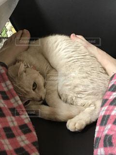 丸くなる猫の写真・画像素材[937189]