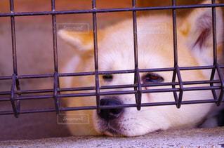 秋田犬の写真・画像素材[938612]