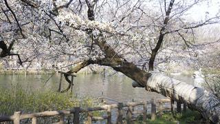井の頭公園の桜の写真・画像素材[943344]