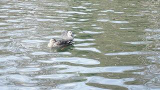 井の頭公園 池の写真・画像素材[944736]