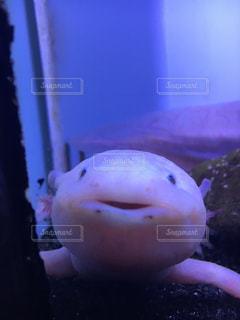 ウーパールーパーの微笑みの写真・画像素材[939372]